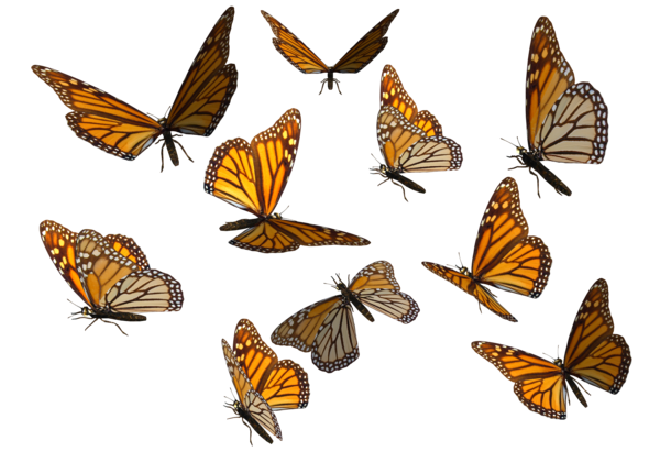 monarch_butterfly_clipart_png_by_madetobeunique-d3070dt